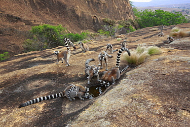 Ring-tailed Lemur (Lemur catta) group drinking from puddle, Anja Park, Madagascar