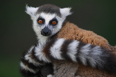 Ring-tailed Lemur (Lemur catta), Anja Park, Madagascar