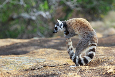 Ring-tailed Lemur (Lemur catta) male scenting tail to use during stink fights with other males, Anja Park, Madagascar