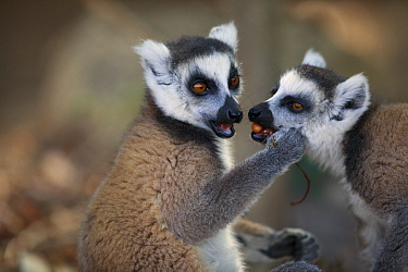 Ring-tailed Lemur (Lemur catta) pair feeding on fruit, Anja Park, Madagascar