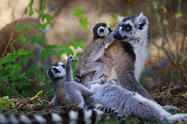 Ring-tailed Lemur (Lemur catta) mother with twins, Anja Park, Madagascar