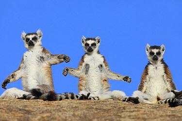 Ring-tailed Lemur (Lemur catta) trio basking, Anja Park, Madagascar