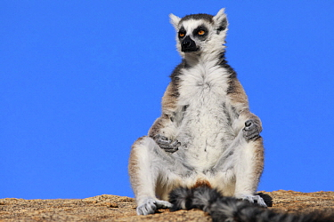 Ring-tailed Lemur (Lemur catta) basking, Anja Park, Madagascar