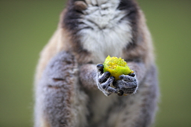 Ring-tailed Lemur (Lemur catta) feeding on tomato, Anja Park, Madagascar