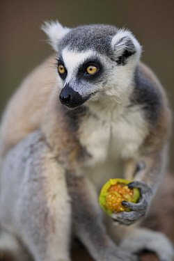 Ring-tailed Lemur (Lemur catta) feeding on tomato, Anja Park, Madagascar