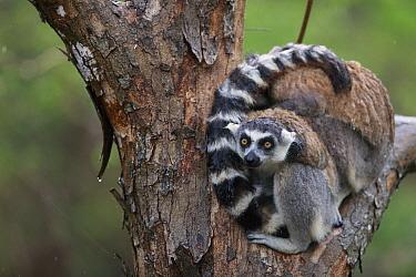 Ring-tailed Lemur (Lemur catta) pair in tree during rainfall, Anja Park, Madagascar