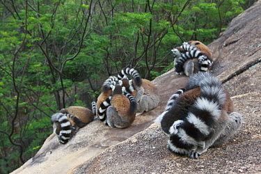 Ring-tailed Lemur (Lemur catta) group sleeping, Anja Park, Madagascar