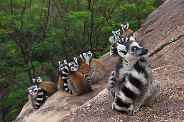 Ring-tailed Lemur (Lemur catta) group huddling for warmth, Anja Park, Madagascar