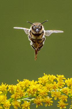 Honey Bee (Apis mellifera) flying, Germany