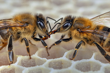 Honey Bee (Apis mellifera) workers exchanging food on honeycomb, Germany