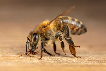 Honey Bee (Apis mellifera) poisoned worker turns out mouthparts shortly before dying at hive entrance, Germany