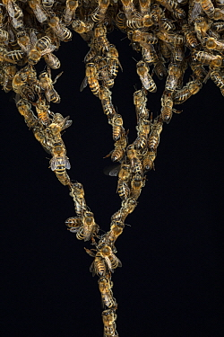 Honey Bee (Apis mellifera) colony forming chains to repair honeycomb, Germany