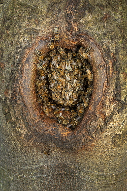 Honey Bee (Apis mellifera) hive in Black Woodpecker (Dryocopus martius) nest, Germany