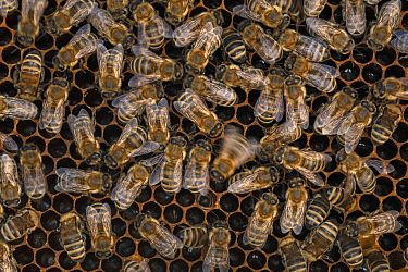 Honey Bee (Apis mellifera) performing waggle dance on honeycomb to communicate location of nectar to other colony workers, Germany
