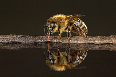 Honey Bee (Apis mellifera) drinking, Germany