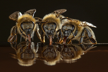 Honey Bee (Apis mellifera) trio drinking, Germany