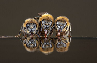 Honey Bee (Apis mellifera) trio drinking, Germany