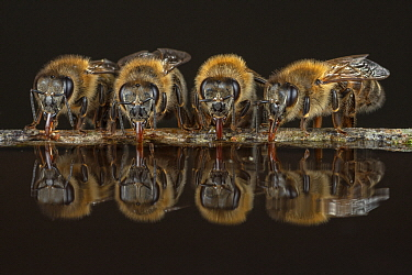 Honey Bee (Apis mellifera) group drinking, Germany