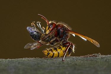 European Hornet (Vespa crabro) with Honey Bee (Apis mellifera) prey, Germany