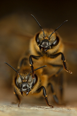 Honey Bee (Apis mellifera) pair in defensive posture, Germany