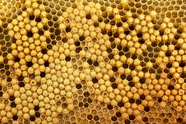 Honey Bee (Apis mellifera) brood cells with drone brood and larvae in open cells, Germany