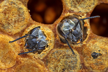 Honey Bee (Apis mellifera) pair hatching out of brood cell, Germany
