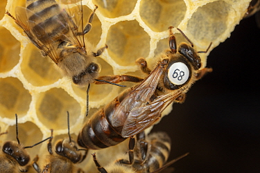Honey Bee (Apis mellifera) queen with id marker, Germany