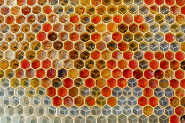 Honey Bee (Apis mellifera) honeycomb cells filled with pollen, Germany