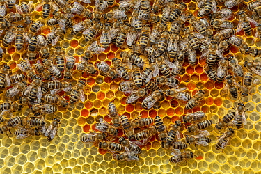 Honey Bee (Apis mellifera) colony on honeycomb filled with pollen, Germany