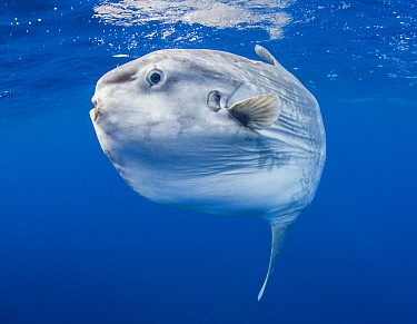 Ocean Sunfish (Mola mola), San Diego, California