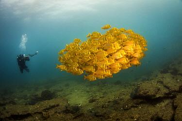 Panama Porkfish (Anisotremus taeniatus) school and diver, Cabo Pulmo National Park, Baja California, Mexico