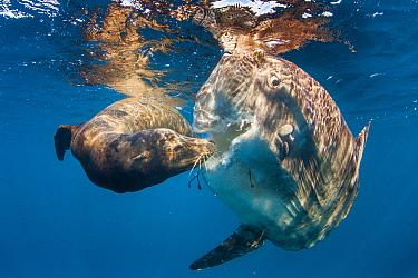 California Sea Lion (Zalophus californianus) feeding on Ocean Sunfish (Mola mola), San Diego, California