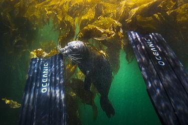 Harbor Seal (Phoca vitulina) biting scuba diver's fin, Monterey, California