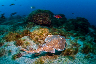 Giant Electric Ray (Narcine entemedor), Revillagigedo Islands, Mexico