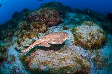 Giant Electric Ray (Narcine entemedor), Revillagigedo Islands, Mexico