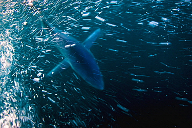 Blue Shark (Prionace glauca), San Diego, California