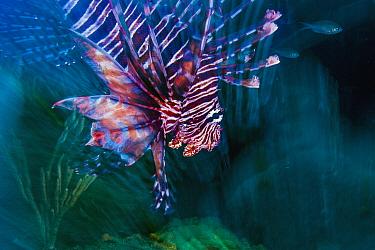 Common Lionfish (Pterois volitans), Redonda Island, Caribbean