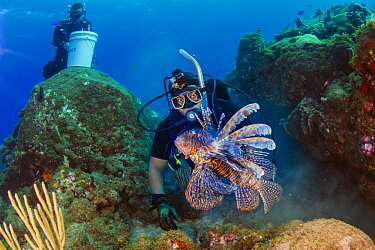 Common Lionfish (Pterois volitans), invasive species, speared by diver, Redonda Island, Caribbean