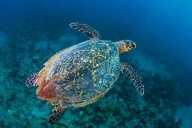 Hawksbill Sea Turtle (Eretmochelys imbricata), Caribbean