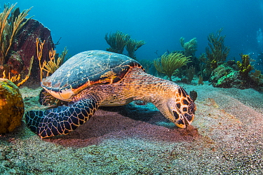 Hawksbill Sea Turtle (Eretmochelys imbricata) feeding on algae, Caribbean