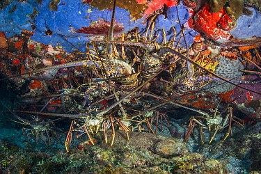 Caribbean Spiny Lobster (Panulirus argus) group, Caribbean