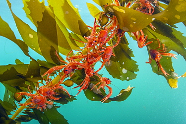 Pelagic Red Crab (Pleuroncodes planipes) group on kelp, indicators of El Nino, California