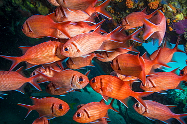 Soldierfish (Myripristis sp) school, Caribbean