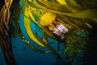 Pacific Sea Nettle (Chrysaora fuscescens) jellyfish in kelp, Monterey Bay, California