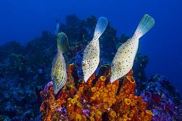 Scrawled Filefish (Aluterus scriptus) trio, Saba Island, Caribbean
