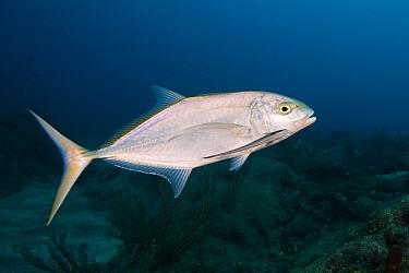 Live Sharksucker (Echeneis naucrates), Saba Island, Caribbean