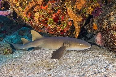 Short-tail Nurse Shark (Ginglymostoma cirratum), Saint Eustatius, Caribbean