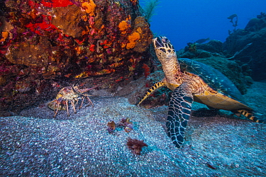 Hawksbill Sea Turtle (Eretmochelys imbricata), Saba Island, Caribbean