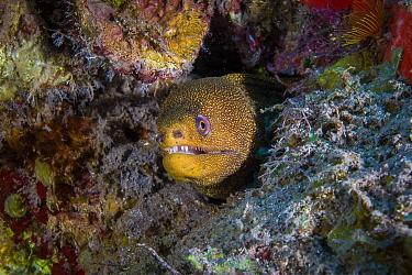 Goldentail Moray (Gymnothorax miliaris), Saba Island, Caribbean