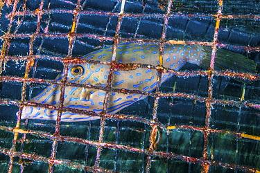 Scrawled Filefish (Aluterus scriptus) caught in fish trap, Saba Island, Caribbean